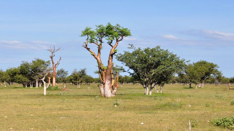 Mehrere Moringabäume in der Savanne